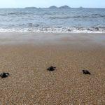 Ninho de tartarugas é encontrado em praia de Macaé